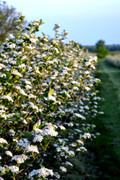 """Viking"" Aronia, Young Bare Root 8-14"" tall           -volume discounts!"