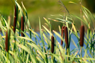 Cattail Plants For Sale