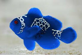 Electric Blue Clownfish