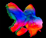 Electric Rainbow Saltwater Oranda (Cyprinidae photoaprilis)