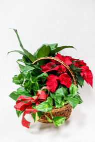 Large Poinsettia Dish Garden Fresh Flower Holiday Arrangement- Shop locally at Earle's Loveland Flowers and Gifts.