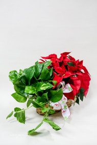 Poinsettia  dish garden- Fresh Flower Holiday Arrangement- Shop locally at Earle's Loveland Flowers and Gifts.