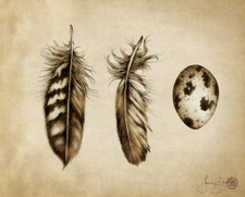 Prints : Quail Feathers and Egg, 8X10 Unframed