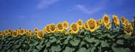 Standard Photo Board: Field Of Sunflowers - AMER