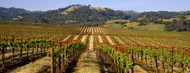 Standard Photo Board: Vineyard Geyserville, California - AMER