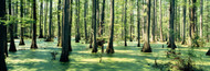 Extra Large Photo Board: Cypress Trees in Shawnee National Forest - AMER