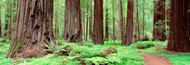 Extra Large Photo Board: Avenue Of The Giants Founders Grove - AMER