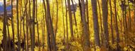 Standard Photo Board: Aspen Trees in Autumn Colorado - AMER