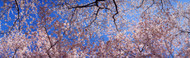 Extra Large Photo Board: Cherry Blossom Trees - AMER - INDY