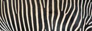 Standard Photo Board: Greveys Zebra Stripes - AMER - INDY