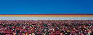 Standard Photo Board: Ranunculus Flowers Carlsbad Ranch - AMER