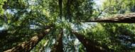 Standard Photo Board: Sequoia Trees Muir Woods - AMER