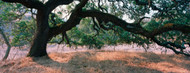 Standard Photo Board: Standard Photo Board: Oak Tree in a Field Sonoma County - AMER