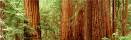 Extra Large Photo Board: Redwoods Muir Woods - AMER -INDY