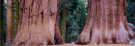 Extra Large Photo Board: Sierra Trees Giant Forest Sequoia National Park - AMER