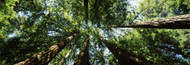 Extra Large Photo Board: Sequoia Trees Muir Woods - AMER