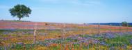 Standard Photo Board: Bluebonnets in Hill Country Field Texas - AMER