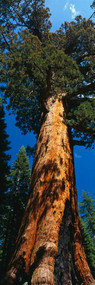 Grizzly Giant Redwood