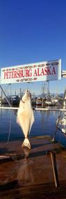 Halibut Hanging at Petersburg Harbor