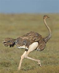 Ostrich Running in Field
