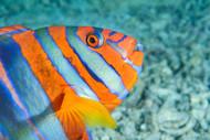 Harlequin Fish Australia
