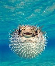 Puffer Fish in Bahamas