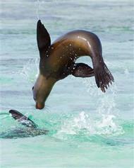Sea Lion Jumping into Sea