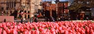 Tulips Copley Square