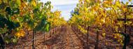 Vines in a Vineyard Napa