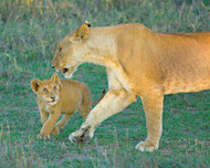 Lionness Walking with Cub