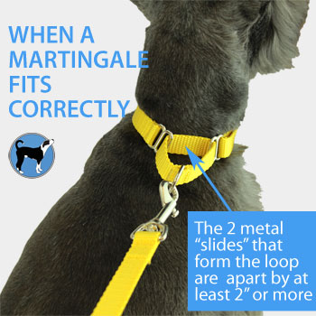 martingale collar fitted correctly on a dog