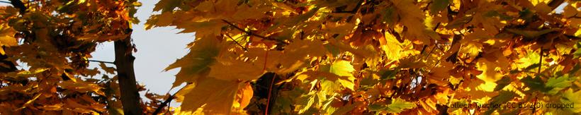 acer-ornamental-trees-banner.jpg
