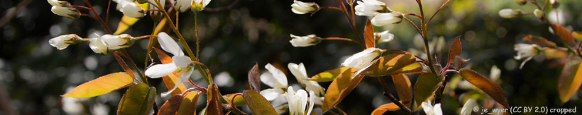 amelanchier-new-banner.jpg