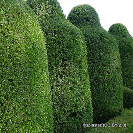 buxus-spinster-cc-by-2.0-.jpg