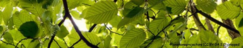 carpinus-betulus-banner.jpg