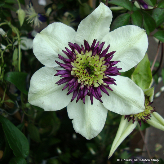 clematis-florida-sieboldii-.jpg