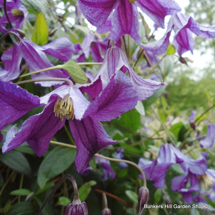 clematis-integrifolia-rosea-.jpg