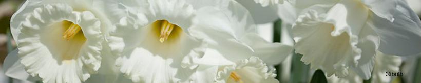 daffodils-banner.jpg