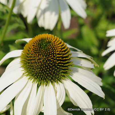 echinacea-derrick-coetzee-cc-by-2.0-.jpg