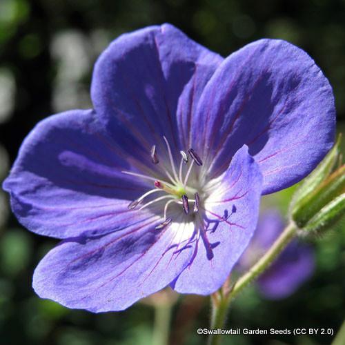 geranium-kashmir-blue-sim-swallowtail-garden-seeds-cc-by-2.0-.jpg