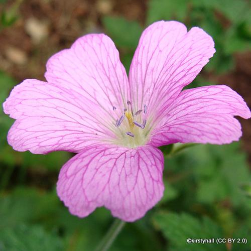 geranium-wargrave-pink-sim-kirstyhall-cc-by-2.0-.jpg