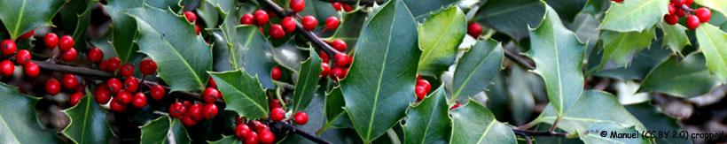 ilex-aquifolium-banner.jpg