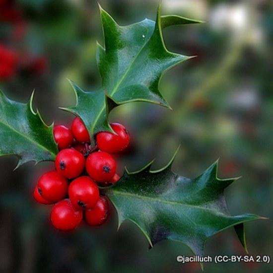 ilex-aquifolium-jacilluch-cc-by-sa-2.0-.jpg