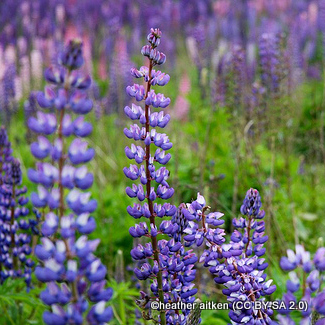 lupin-the-governor-heather-aitken-cc-by-sa-2.0-.jpg