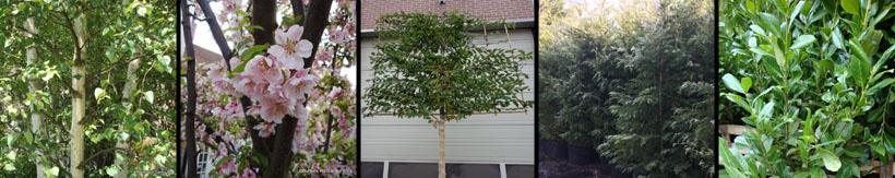 mature-trees-evergreen-screening-banner.jpg