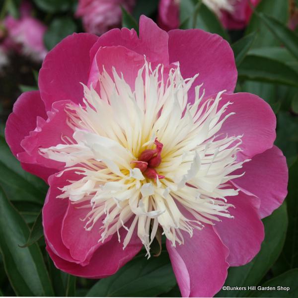 paeonia-bowl-of-beauty-3-.jpg