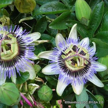 passionflower-stainthorp-cc-by-sa-2.0-.jpg