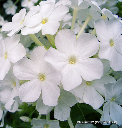 phlox-white-admiral-titanium22-cc-by-sa-2.0-.jpg