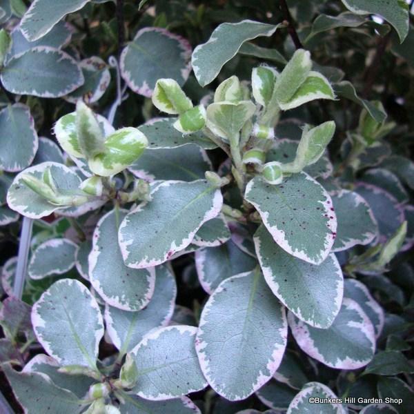 pittosporum-silver-queen-.jpg