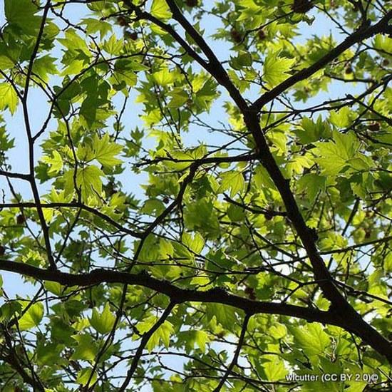 platanus-acerifolia-wlcutter-cc-by-2.0-2-.jpg